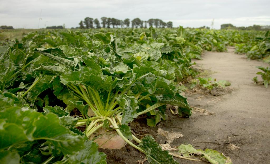 Suikerbieten op het land in Wouw, een idee van hoe een bedrijf in beeld kan worden gebracht door Sam fotografie, een fotograaf uit Wouw